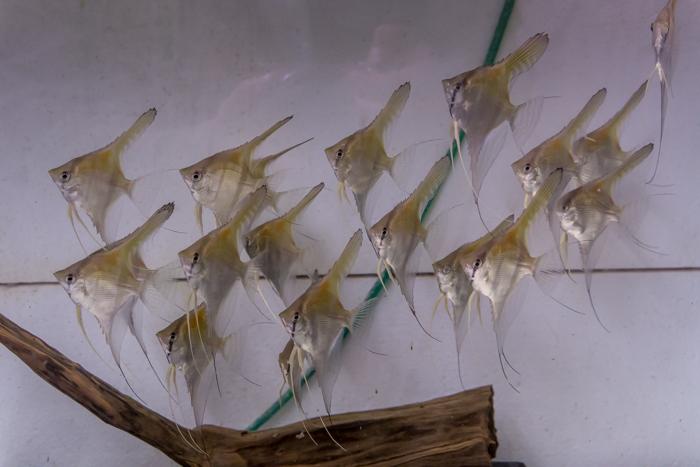 Zierfischzucht aquak zierfischversand bundesweit for Zierfisch versand