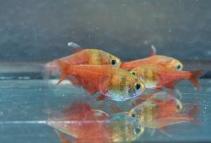 Roter von Rio 3,0 - 3,5 cm