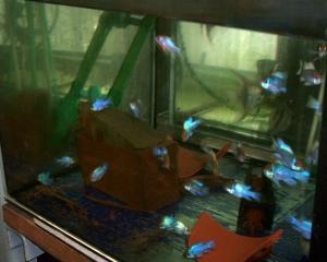 Schmetterlingsbuntbarsch Electric blue