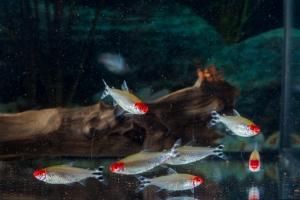 Rotkopfsalmler 3 - 3,5 cm