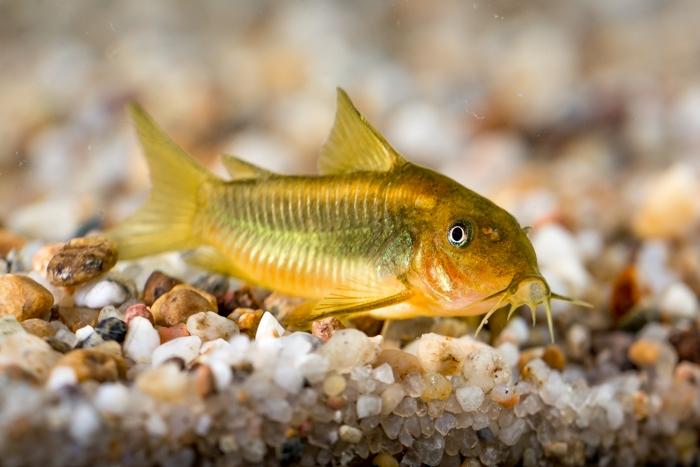 Corydoras sp. Gold stripe