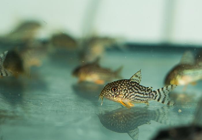 Corydoras sterbai 2,5 - 3,0 cm