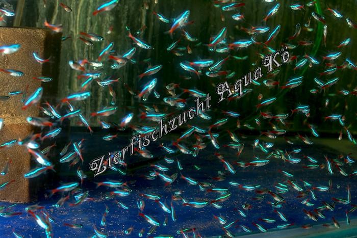 200 Neonsalmler + 2 LDA 16