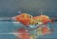 Roter von Rio 2,5 - 3 cm
