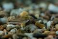 Corydoras pygmaeus