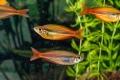 Dreistreifen-Regenbogenfisch