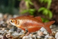 Lachsroter Regenbogenfisch