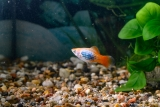 Platy blue redtail calico