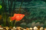 Roter Platy