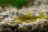 Corydoras sp. Green stripe CW009