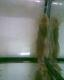 Gemeiner Antennenwels 7 - 8 cm