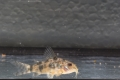 Marmorpanzerwels