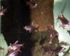 Weissflossen Schmucksalmler